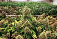 Maryland's first grower has completed its first harvest.